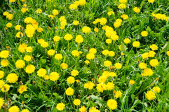 Close up of blooming yellow dandelion flowers Taraxacum officinale Stock Image
