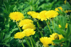 Close up of blooming yellow dandelion flowers Taraxacum officinale in garden on spring time. Detail of bright common dandelions Stock Photography