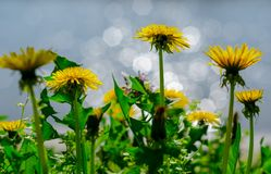 Close up of blooming yellow dandelion flowers (Taraxacum officinale) in garden on spring time, with a soft focus blurred stock photography