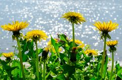 Close up of blooming yellow dandelion flowers (Taraxacum officinale) in garden on spring time, with a soft focus blurred stock images
