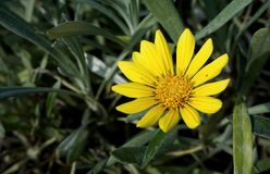 Close-up blooming yellow gazania flower with green leaves on the Stock Photo