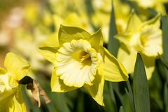 Close-up yellow narcissus Royalty Free Stock Images
