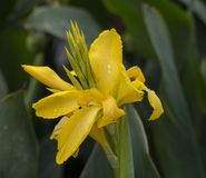 Close up blooming yellow orchid with rain drops on soft green ba. Ckground Royalty Free Stock Image