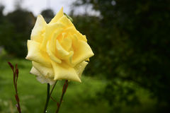 Close up of blooming yellow rose Stock Images