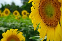 Close up blooming yellow sunflower, Sunflowers garden field background Stock Photo