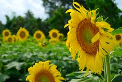 Close up blooming yellow sunflower, Sunflowers garden field background Stock Photos