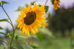 Close-up of blooming yellow sunflower with sunset sky and summer garden in background stock photography