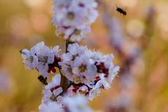 Close up blossom apricot branch with white and pink flowers with little bees on flower and flyings around the tree in spring