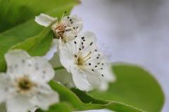 Close up of blossom of a cherry tree. Close up of the blossom of a cherry tree Stock Image