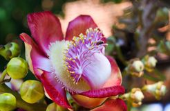 Close up of blossom and fruits of cannonball tree couroupita guianensis in Thailand stock images