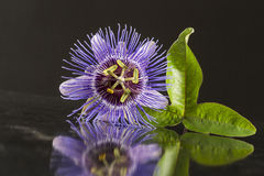 Close up of a Blossom of Purple Passiflora on black background royalty free stock photography
