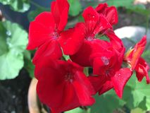 Bright Red Geranium Flower in the garden. Close up of the blossom of a Red Geranium. Geraniums come in a variety of colors and petal and leaf shapes stock image