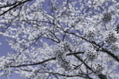 Close up blossom sakura flower on tree under winter sky. Group of blossom sakura flower on tree under winter sky Stock Photography