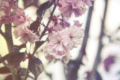 Close up on blossom on tree garden, soft pastel effect Royalty Free Stock Image