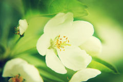 Close up of blossoming apple tree flower Royalty Free Stock Photos