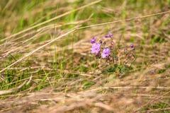 Purple flower of Geranium pratense in field Royalty Free Stock Image