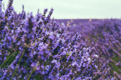 Close up of blossoming lavender Royalty Free Stock Photo