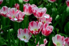 Close-up of blossoming red and white tulips in a field. Singapore - May 26, 2016: A bouquet of red and white tulip flowers seen in a field. The tulips are open Stock Images