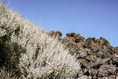 Close up of the blossoming teide broom bush royalty free stock image