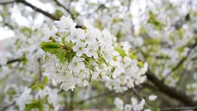 Close-up of blossoming white cherry tree flowers. Cerasus avium. Close-up of blossoming white cherry tree flowers blown by wind in spring stock footage