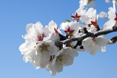 Close up blossoms. Blossoms over a blue sky Royalty Free Stock Image