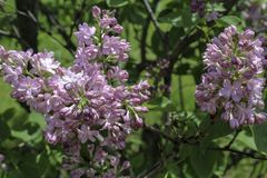 Pink lilacs flowering in the spring sunshine. Close up of blossoms. Grass and trees in the background. Rochester, New York stock images