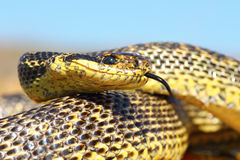 Close up of blotched snake head Royalty Free Stock Image