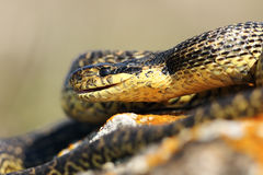 Close up of blotched snake head Royalty Free Stock Photography