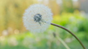 Close-up of blowball flower. Lonely dandelion flower bud in the green grass. Close-up of blowball Taraxacum flower in green natural background- Lonely dandelion stock video footage