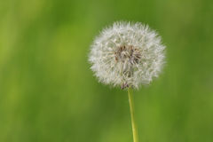 Close up of blowball Stock Photo