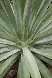 Close-up of a Blue Agave Plant Royalty Free Stock Photos