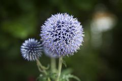 Close up of Blue Allium flower growing outside royalty free stock photo