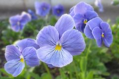 Close up of the blue-amethyst home garden viola with yellow core stock photography