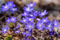 Close up of blue anemone flowers blooming in spring sunlight. Cluster of beautiful blue anemone or liver leaf flowers, Anemone hepatica, blooming in spring royalty free stock image