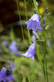 Close-up of a Blue bell in bloom, a popular flower of Scotland Royalty Free Stock Photos