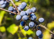Blackthorn prunus spinosa. Close-up blue berries of blackthorn prunus spinosa Stock Photos