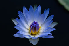 Close up blue blooming waterlily or lotus flower Stock Image