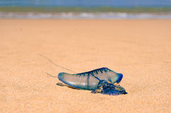Close up of blue bottle jelly fish with ocean background Stock Photos