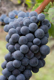 Close up of the blue bunches of ripe grapes Royalty Free Stock Photo