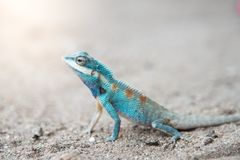 Close up blue  chameleon on Sandy floor Stock Photography