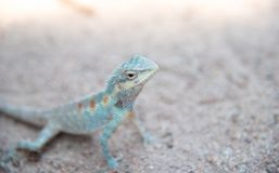 Close up blue  chameleon on Sandy floor Royalty Free Stock Image