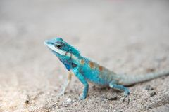 Close up blue  chameleon on Sandy floor Royalty Free Stock Images