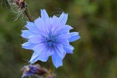 Close up Blue Chicory flower. Cichorium intybus. royalty free stock photos