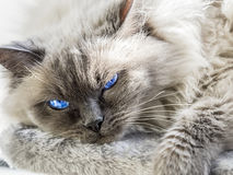 Close up of a blue colorpoint Ragdoll cat stock photo
