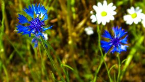 Close up of blue cornflowers and daisies royalty free stock photo