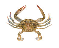Close up of blue crab royalty free stock photography