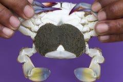 Close up of Blue crab, Blue swimmer crab Portunus pelagicus wi. Th black crab eggs royalty free stock photography