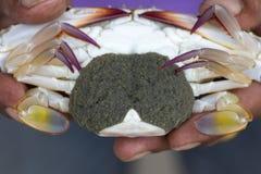 Close up of Blue crab, Blue swimmer crab Portunus pelagicus wi. Th black crab eggs stock photo