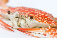 Close Up Of Blue Crab. Royalty Free Stock Photography