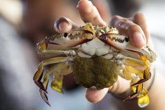 Close up of Blue crab, Blue swimmer crab Portunus pelagicus wi. Th black crab eggs royalty free stock photos